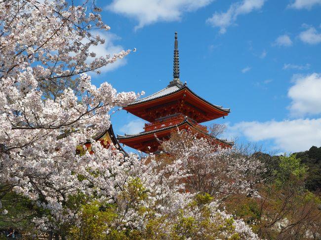 京都市街地の八坂神社、円山公園、清水寺、<br />鴨川、高瀬川、京都御苑などを日にちを変えて<br />ぶらぶらと散歩しました。<br />桜の開花時期でいい気分転換になりました。