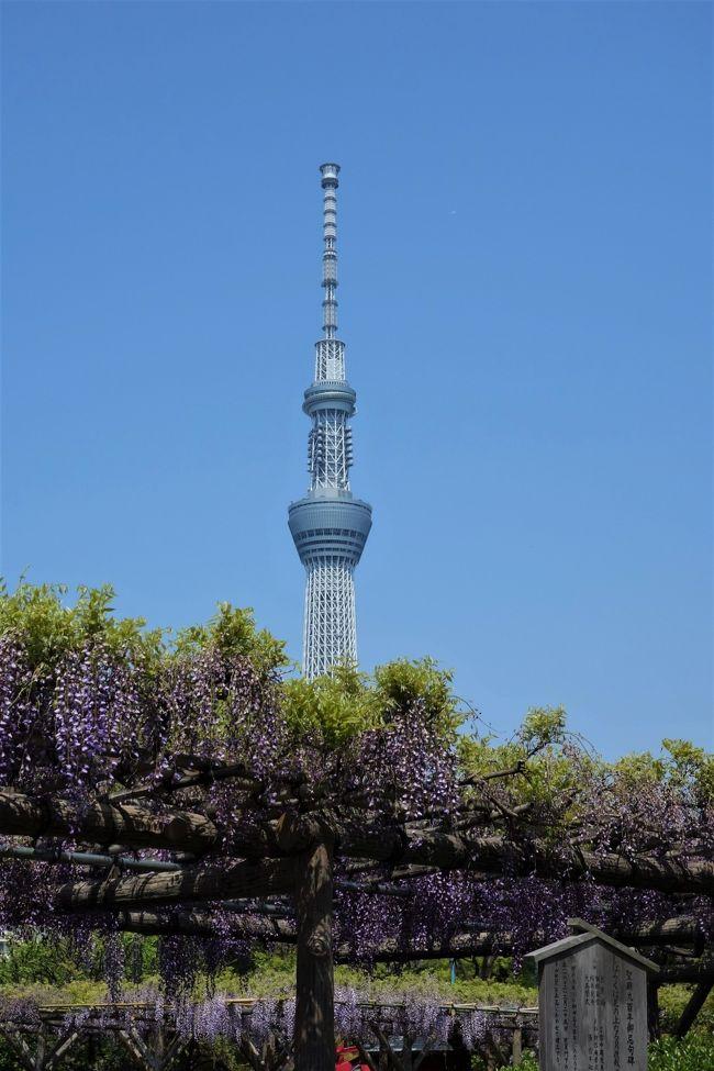 見頃って、これ?根津神社の躑躅 VS 亀戸天神の藤 長靴を探す旅