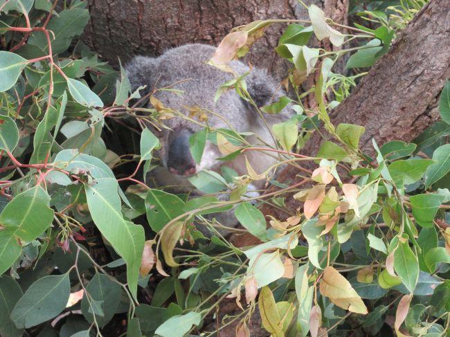 2019 南半球のクリスマスを見に解脱フライト【2日目】コアラに初対面