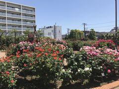 花を求めて 薔薇