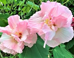 秋の倉敷へ3泊4日で行ってみました!vol.11 のんびり親子の帰り道と優雅に咲く酔芙蓉の花♪