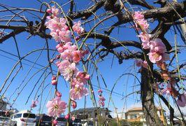 2020新春、今年最後の枝垂れ梅(1/6):2月28日(1):名古屋市農業センター(1):街路樹の紅梅と白梅枝垂れ