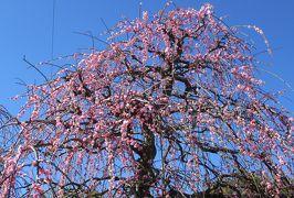 2020新春、今年最後の枝垂れ梅(2/6):2月28日(2):名古屋市農業センター(2):押し花展示会、マンサク、枝垂れ梅林