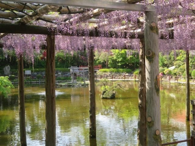 越谷市の元荒川沿いにある越谷の総鎮守「久伊豆神社」に28日と1日に藤を見に歩いて行きました、平日の昼間、人が少なそうな時間帯を選んで自宅からのんびり歩いて久伊豆神社境内に入りほぼ満開の藤を見て周辺を約2万5千歩程歩いて散策しました、4月中に宿泊を兼ねて仕事関連の用事をほぼ終えたので4月下旬から5月中は周辺を歩くことにしました、1日5千歩から2万歩程歩くようにしています、お昼前後の昼間の時間帯は人が少ないのでその時間帯に歩いています。<br /><br />久伊豆神社は近いので1か月に1度程度行っています、いつもは車で行きますが、今は運動不足解消を兼ねて歩いて行ってます、久伊豆神社は平安時代中期の創建のようで主祭神は大国主命・言代主命で初詣や七五三詣での参拝者が多いですが藤の見ごろ時は露店が出て賑やかです、土休日は特に多いようです、この時期混んでいる時間帯は避けていくようにしています。