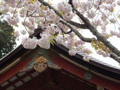 こどもの日に桜咲く 2013 in塩釜
