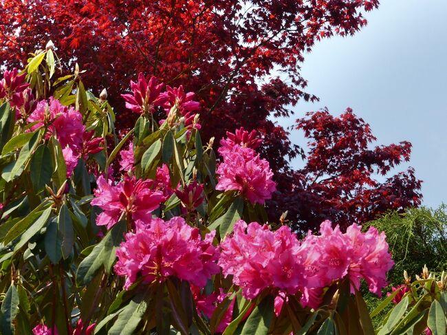 ちょうど一年前、去年(2020)の訪問記です。このとき、5割くらい開花していましたが、今年(2021)は全般的に開花が早まっているようなので、もっと進んでいるかもしれません。<br /><br />で、去年の4月、桐生市新里町の「赤城寺」に、シャクナゲを見に行きました。このとき、シャクナゲは全体的には5割くらいの開花で、見頃にはやや早かったようですが、それでも綺麗な花を楽しめました。(2021.04.16.記)
