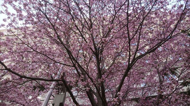 新型コロナウイルスの感染拡大防止のため日本全国外出自粛の中、仕事に行くと道、一つ手前の駅で降りて歩いてみました。<br />札幌は、いつもの年と変わらず桜が咲いていました。