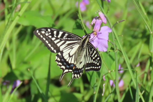 5月8日、午後1時40分過ぎに川越市の森のさんぽ道へ行きました。 この日の天気は昨日より風が弱く、晴天であったために引き続いて蝶の観察に行きました。 今日の主な目的はアカシジミが発生していないかどうかでしたが、残念ながらいませんでした。 結果としては以下の通りまとめました。<br />●アゲハチョウとキアゲハが花大根の花に飛来していました。<br />●コミスジがかなり発生していました。<br />●テングチョウが見られました。<br />●スジグロシロチョウが見られました。<br />●ツマグロヒョウモン♂が見られました。二頭いました。<br />●その他、ダイミョウセセリ、モンシロチョウ、ツバメシジミ、ヤマトシジミが見られました。<br /><br /><br />*写真はアゲハチョウ・・花大根の花に止まっていた