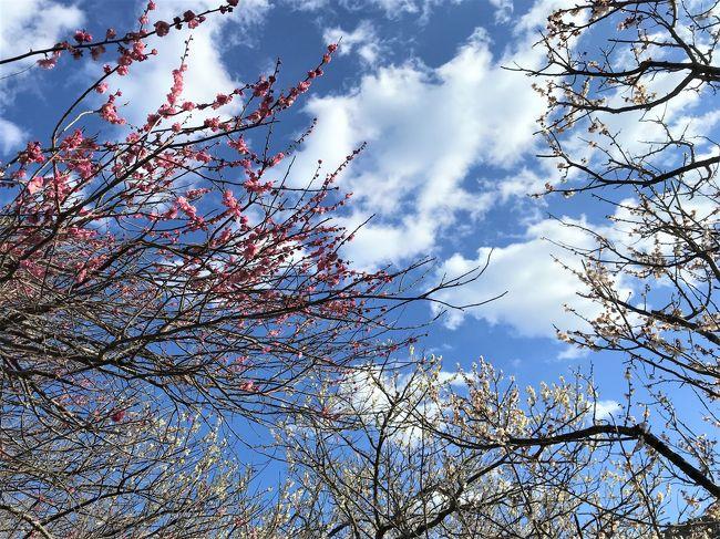 2020年春休み親子旅は湯河原と箱根の温泉へ☆<br /><br />名古屋から熱海経由で湯河原温泉に到着。<br />駅前通りの『割烹しらこ』でランチをすませて<br />タクシーで湯河原梅林へ来ています。<br /><br />4000本の梅がみれるという湯河原梅林。<br />暖冬で例年よりも早く開花して<br />梅まつりの前に満開になっているらしい…。<br /><br />今日の宿は<br />『湯河原温泉 川堰苑いすゞホテル』<br />駅からの送迎が無いので、行き方を尋ねると<br />「バスよりも、タクシーが便利です!」<br />そりゃそうでしょ!と思いながら<br />割烹しらこから、タクシーで湯河原梅林へ。