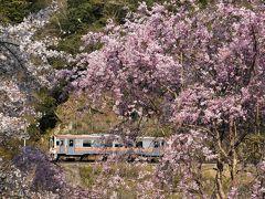 名松線春の花と鉄道風景~桜とミツマタの咲き誇るローカル線2020~(三重)