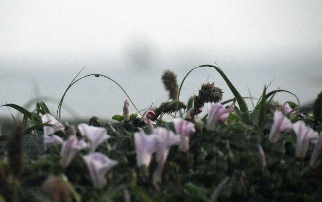 サーファ-がいなくなった湘南海岸。その後の様子は?<br />半月ぶりに海岸に出向いてみました。<br />ハマヒルガオがきれいに咲いていました。<br />サーファーが・・・・。
