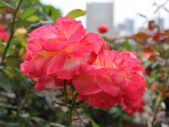 芝浦中央公園のバラ園で癒される