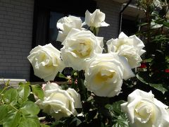 光明寺門前のお宅のバラの花