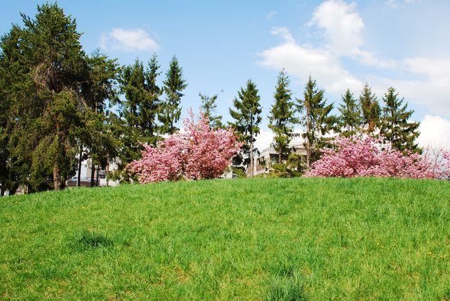 札幌にもやっと桜が咲きました