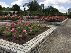 ご近所散歩 長居公園のバラ