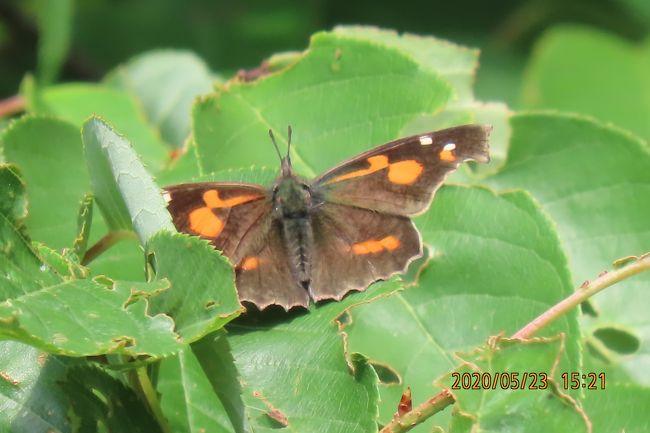 5月23日、午後0時45分過ぎに川越市の森のさんぽ道へ蝶の観察に行きました。 この日は天気予報が外れて6日ぶりの晴天が見られましたので行くことにしました。 気温は23℃くらいでしたが湿度がやや高く少し汗をかきました。 森のさんぽ道の中央部分にある荒れ地はかなり雑草が繁茂していました。 以前よりも蝶が見られるようになりました。 観察の結果は以下の通りです。<br />●午後3時頃になって荒れ地横の森でテングチョウ、イチモンジチョウ、コミスジが見られました。 すべて羽化したばかりで羽の損傷はありませんでした。<br />●モンシロチョウがかなり見られました。 ツマキチョウは全く見られませんでした。<br />●ダイミョウセセリはかなり見られました。<br />●ツマグロヒョウモンは3頭くらい見られました。<br />●サトキマダラヒカゲは樹液が出ているクヌギに見られるようになりました。<br />●写真撮影はできませんでしたが、アカシジミが見られました。クロアゲハも見られました。<br /><br /><br />*写真はクヌギの樹の上で見られたテングチョウ