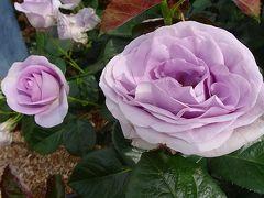 本日最後は、荒牧バラ公園のバラを見て帰りました 上巻。