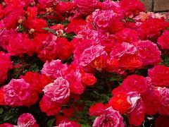 本日最後は、荒牧バラ公園のバラを見て帰りました 中巻。