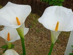 ワイルドフラワーのボトルブラシュの花を探して その6。