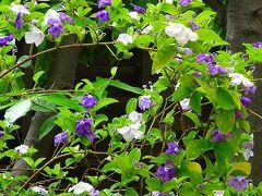 ワイルドフラワーのボトルブラシュの花を探して その7完。