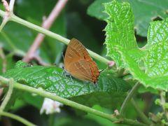 森のさんぽ道で見られた蝶(27)アカシジミ、ミズイロオナガシジミ、テングチョウ、その他