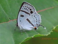 森のさんぽ道で見られた蝶(29)ミズイロオナガシジミ、アカシジミ、ベニシジミ、キタテハ、その他