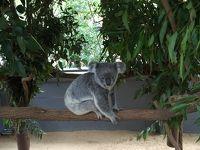 オーストラリア ブリスベン① コアラ抱っこ