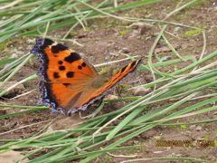 森のさんぽ道で見られた蝶(31)ヒオドシチョウ、ウラナミアカシジミ、イチモンジチョウ、キチョウ他