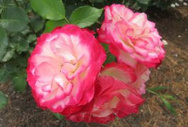 2020春、鶴舞公園のバラ(1/12):5月26日(1):公会堂、噴水塔、バラ園、プリンス・ドゥ・モナコ、ゴールド・ブロー