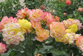 2020春、鶴舞公園のバラ(2/12):5月26日(2):トロピカル・シャーベット、ブライダル・ブルー、ラベンダー・ドリーム