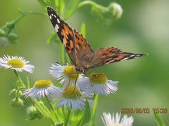 森のさんぽ道で見られた蝶(32)ヒメアカタテハ、ヒオドシチョウ、アカシジミ、ウラナミアカシジミ他