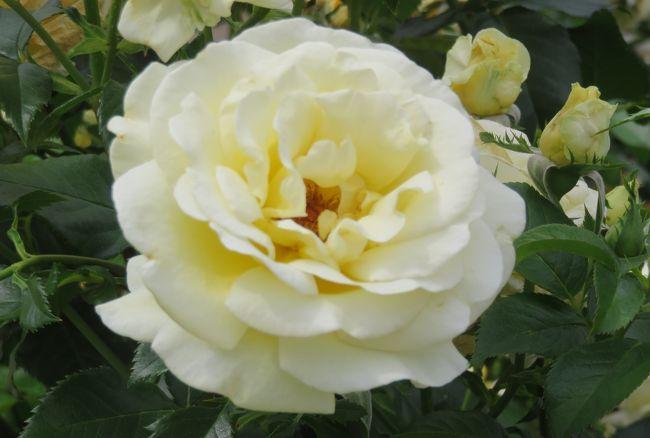 鶴舞公園のバラの紹介です。