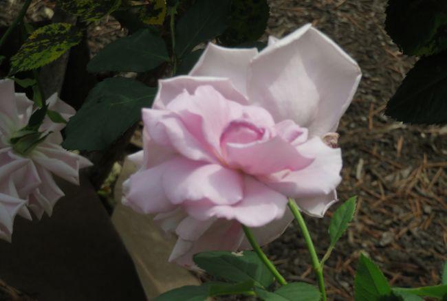 2020春、鶴舞公園のバラ(4/12):5月26日(4):ピエール・ドゥ・ロンサール、トロピカル・シャーベット、ゴールド・メダル