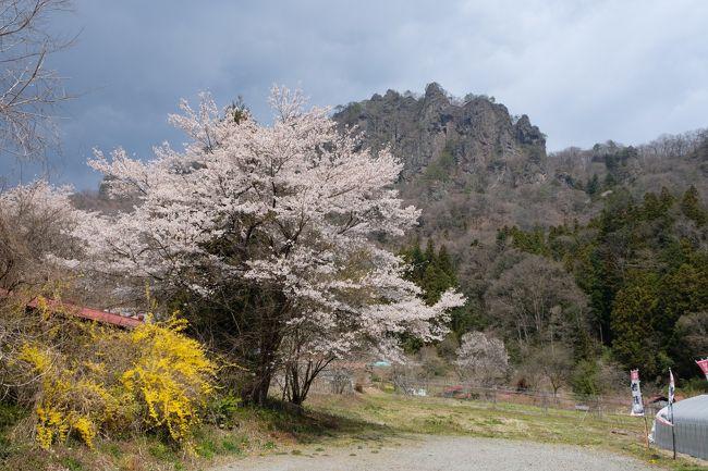 群馬の万座温泉へ一泊二日の旅へ予約した時はここまでひどい状態になるとは思ってなかったですが、極力車ので人との接触しないように心がけて行く事に。<br />万座温泉の聚楽さんの温泉は日本で一番温泉濃度が高い言う事で一度は行って見たい思ってた場所です。<br />4月中旬ですが標高が1800mと高いので気温も寒くまだまだ雪のあり、温泉にはピッタリでした。<br />そして麓の町では今が桜が見所で満開となってました。<br />綺麗な桜と雪が見れて時期的にも良い季節が中国ウィルスで台無しになったなぁって印象です。
