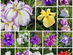 ☆2020年 東村山 北山公園☆花菖蒲 紫陽花