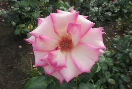 2020春、鶴舞公園のバラ(7/12):5月26日(7):紅鹿の子、プリンセス・ドゥ・モナコ、ティネケ、ローズ・ゴジャール