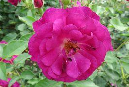 2020春、鶴舞公園のバラ(8/12):5月26日(8):オクラホマ、センチメンタル、ローラ、ライブラリアン、チアガール、楽園