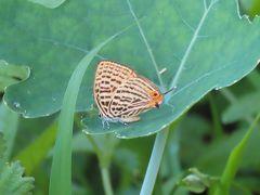 森のさんぽ道で見られた蝶(34)多かったアカシジミ、ウラナミアカシジミの発生を見る