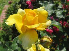 2020春、庄内緑地公園のバラ(3/9):5月29日(3):マチルダ、ゴールド・ハニー、ブライダル・ホワイト、セントオブウーマン、おとひめ