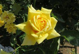 2020春、庄内緑地公園のバラ(7/9):5月29日(7):ウェディング・ブーケ、ミモレ、マルコポーロ、丹頂、緑光、マリア・カラス