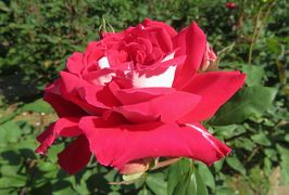 2020春、庄内緑地公園のバラ(8/9):5月29日(8):ジョン・ウォータラー、カガリビ、ラブ、かざぐるま、ミケランジェロ