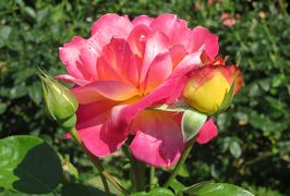 2020春、庄内緑地公園のバラ(9/9):5月29日(9):朝雲、ローズ・ゴジャール、ブラスバンド、イエロー・ブラスバンド、大噴水