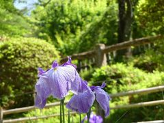 「吾妻公園」のハナショウブ_2020_開花が進んでいますが、花数少ない印象です(群馬県・桐生市)