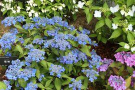 初夏の箱根♪ Vol.24 ☆箱根湿生花園:初夏のアジサイ♪