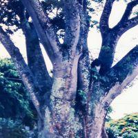 ハワイ島/1993年 ワイコロア・ビーチ HYATT3泊で ☆パーカー牧場・先住民の史跡めぐり/カイルア・コナ散歩も