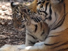 子虎のために旭山動物園再訪