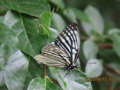 森のさんぽ道で見られた蝶(36)アカボシゴマダラ、アカシジミ、ウラナミアカシジミ、ツバメシジミ他