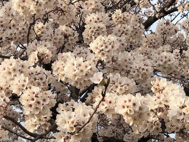 有名なお花見スポットがたくさんあるけど・・・<br /><br />今年は自粛のため散歩やお買い物ついでに近所でお花見<br /><br />咲き始めから葉桜まで毎日見る事ができるのは<br /><br />かえって贅沢かもしれません・・・