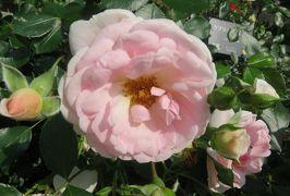 2020初夏、東山植物園のバラ(2/9):6月2日(2):マイナーフェアー、ラ・セビリアーナ、ゴールデン・ボーダー、ラブリー・メイアン