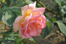 2020初夏、東山植物園のバラ(3/9):6月2日(3):ボニカ82、つるゴールド・バニー、ロサンゼルス・ビューティフル